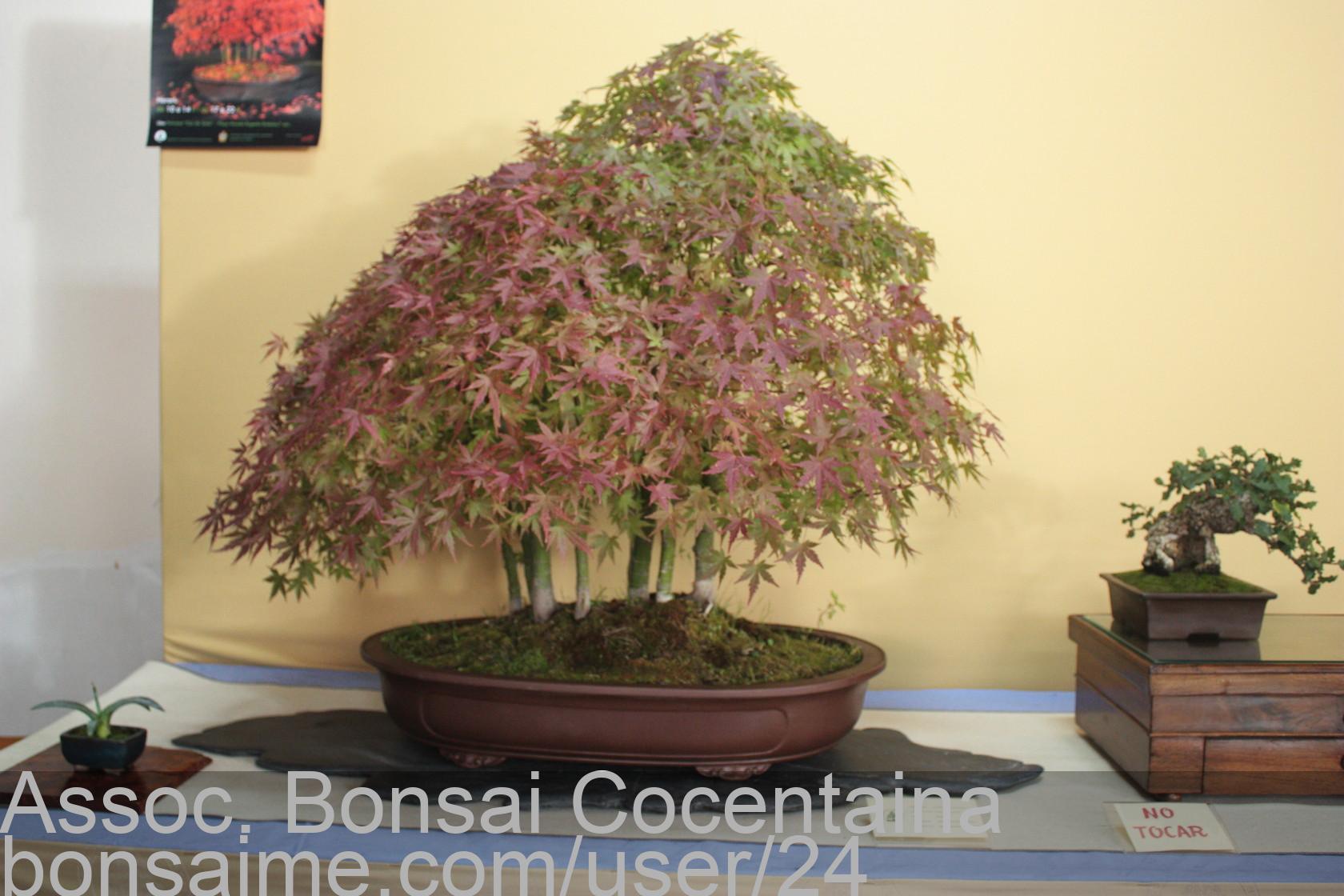 Bonsai Bosque De Acer Palmatum Assoc Bonsai Cocentaina