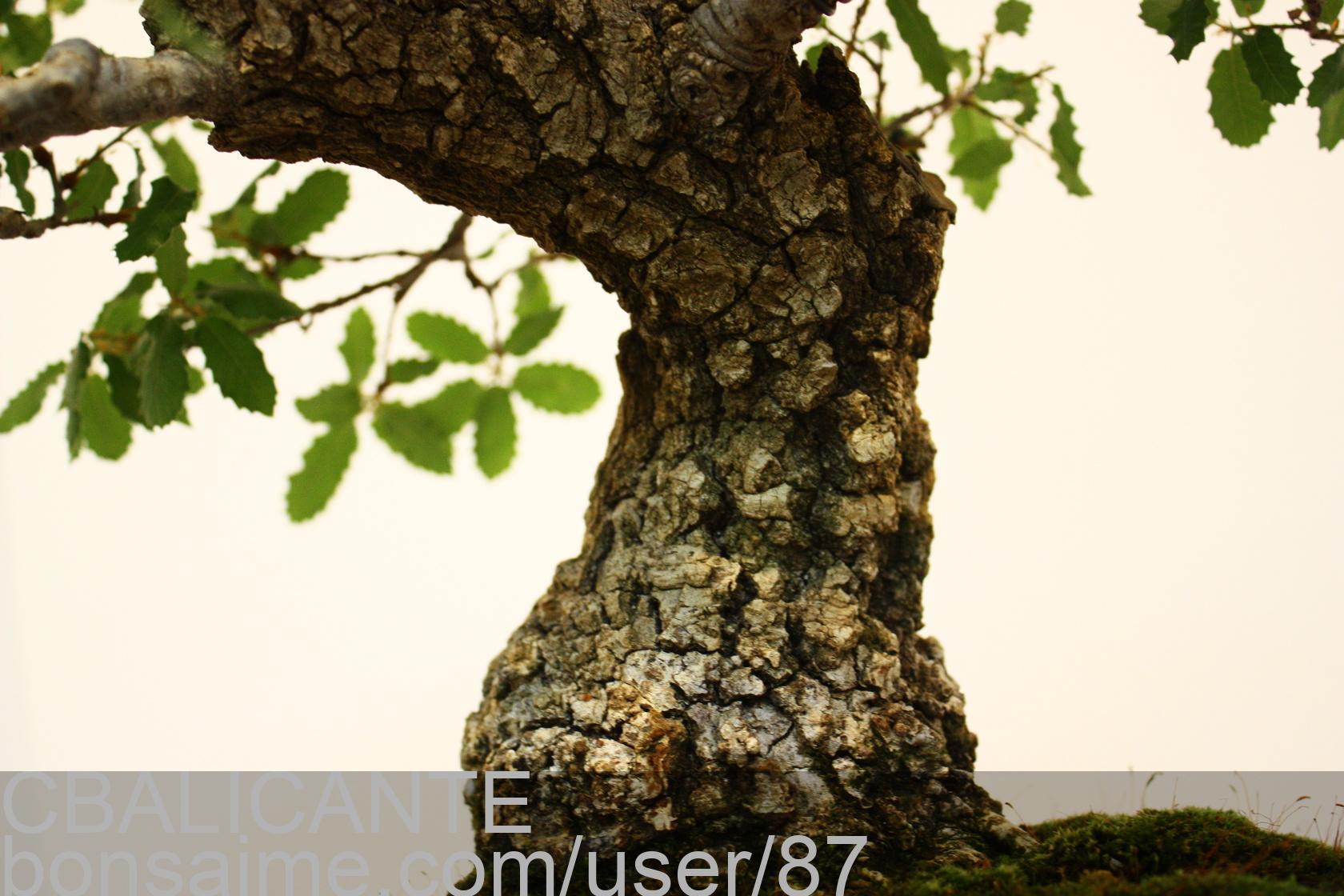 Bonsai roure quercus robur jose antonio terol cbalicante for Muro robur