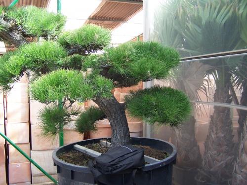 Bonsai Pinus Pentaphilla - Natura Garden
