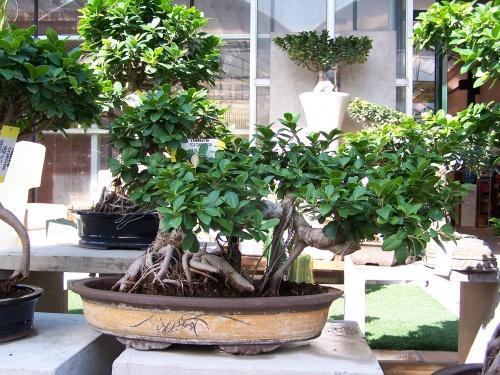 Bonsai Ficus Compacta - Natura Garden