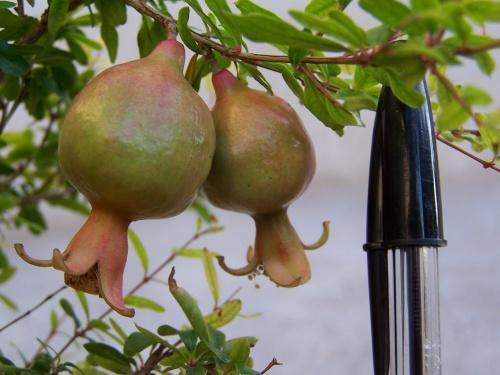 Bonsai Fruto de Granado - Miguel
