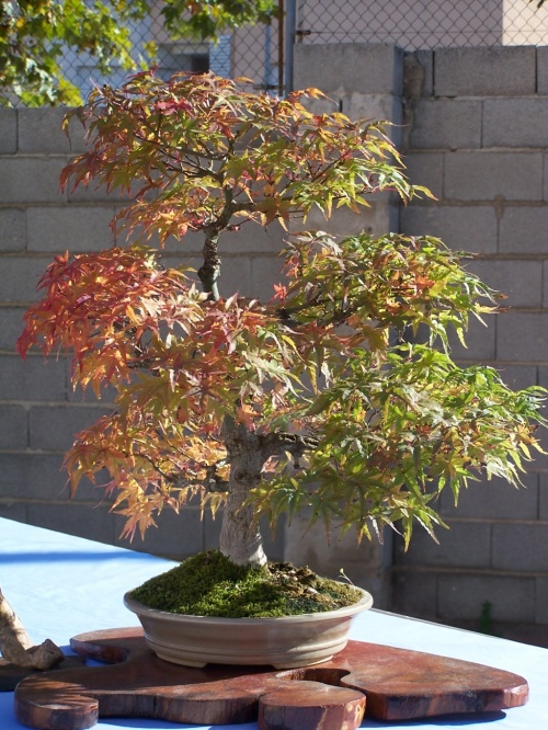 Bonsai Arce - Acer Palmatum - Assoc. Bonsai Cocentaina