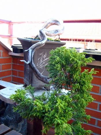 Bonsai Junípero Chinensis - Angel sanchez