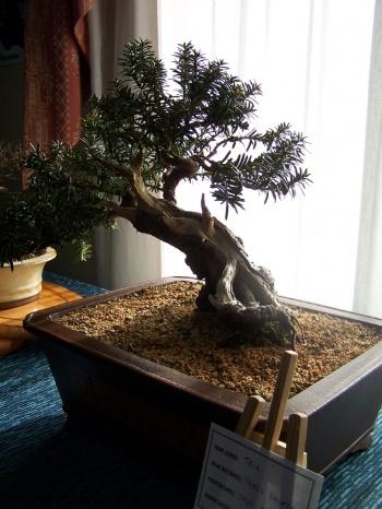 Bonsai Taxus Bacata - Teix - Assoc. Bonsai Muro