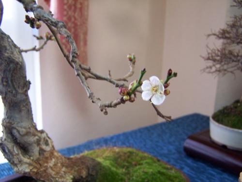 Bonsai Cerezo en Flor ( bonsai ) - Assoc. Bonsai Muro
