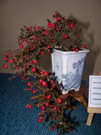 Bonsai Cotoneaster - Assoc. Bonsai Muro