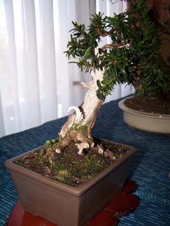Bonsai Taxus - Teix - Assoc. Bonsai Muro