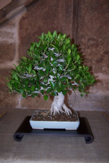 Bonsai Ficus Microcarpa - AVBONSAI