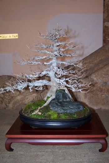 Bonsai Arce Tridente - Acer Burgeranium - AVBONSAI