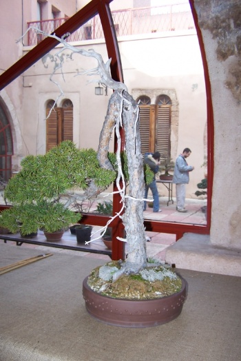 Bonsai Pino Silvestre - Pinus Silvestris - AVBONSAI