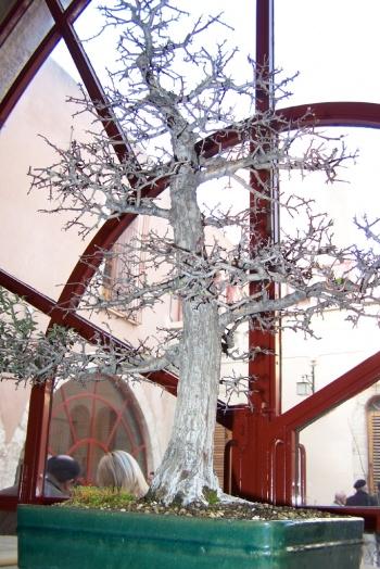 Bonsai Espino Albar - Crataegus Monogyma - AVBONSAI