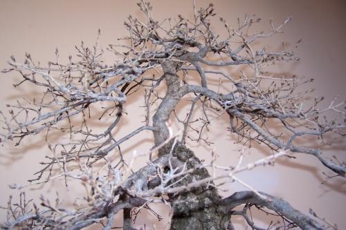 Bonsai Roble Valenciano - Quercus Faginea - AVBONSAI