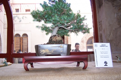 Bonsai Pino Carrasco - Pinus Halepensis - AVBONSAI