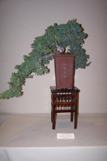 Bonsai Enebro de las Pagodas - Juniperus Rigida - cbvillena