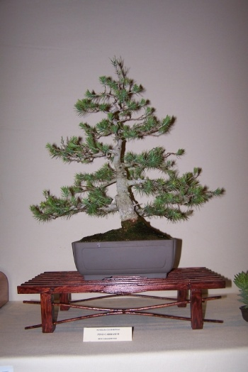 Bonsai Pino Carrasco - Pinus Halepensis - cbvillena