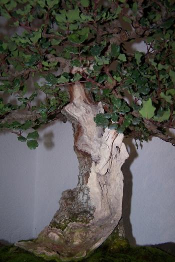 Bonsai Algarrobo - Ceratonia Siliqua - cbvillena