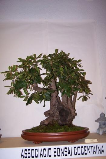 Bonsai Madroño - Arbustus Unedo - cbvillena