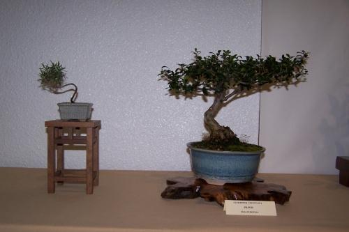 Bonsai Olivo - Olea Europaea - cbvillena
