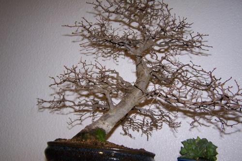 Bonsai Olmo Chino - Ulmus Parviflora - cbvillena