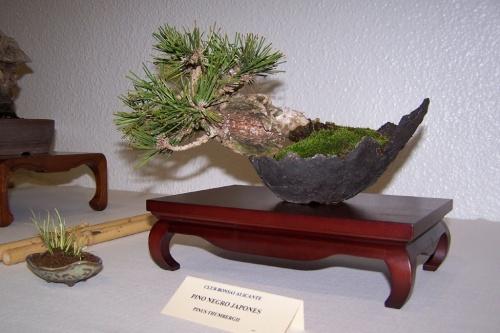 Bonsai Pino Negro Japonés - Pinus - cbvillena