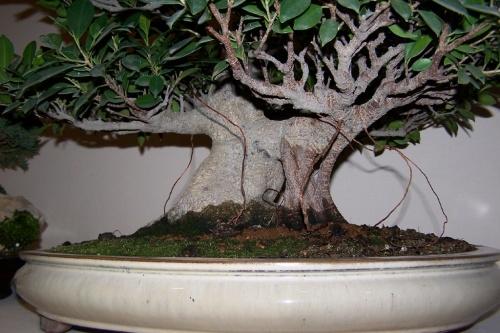 Bonsai Ficus Retusa - cbvillena