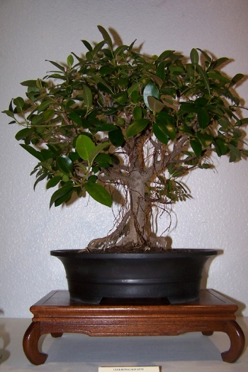 Bonsai Ficus Retusa - cbvillena