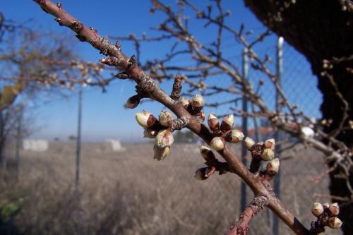 Bonsai Flor del Almendro en invierno - bonsaime