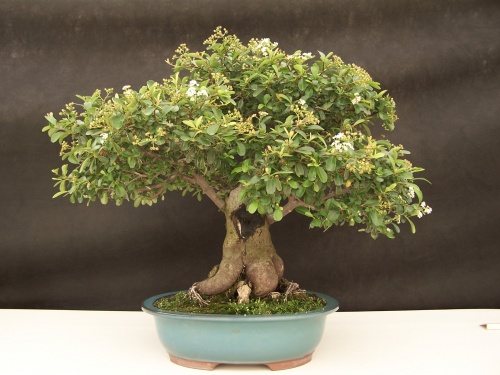 Bonsai Piracanta - Pyracanta Angustifolia - CBALICANTE