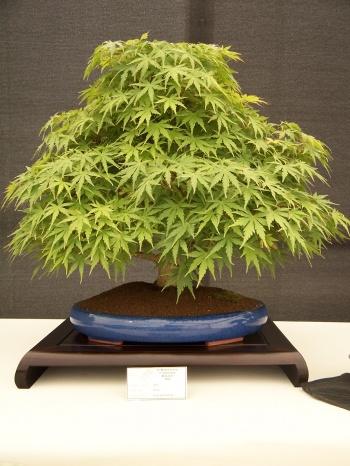 Bonsai Arce - Acer Palmatum - CBALICANTE