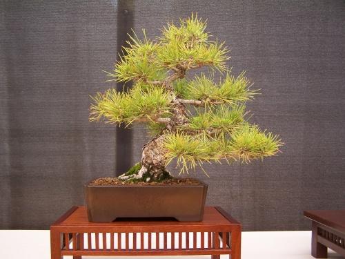 Bonsai Pino - Pinus thumbergii - CBALICANTE