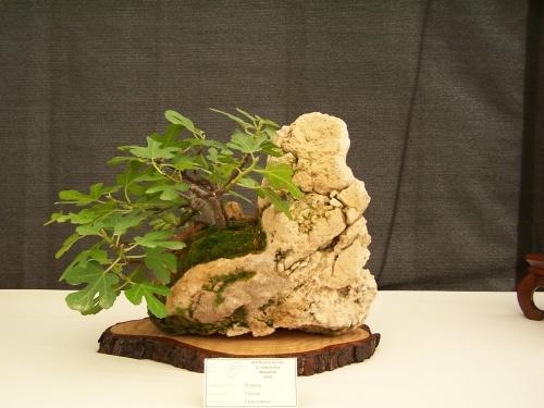 Bonsai Un bonsai de Higuera en un roca - CBALICANTE