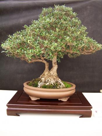 Bonsai Acebuche - Olivera Borde - Olea Europaea - CBALICANTE