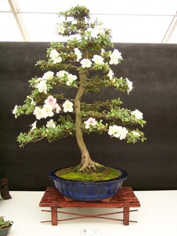 Bonsai Azalea - Rhododendron - CBALICANTE