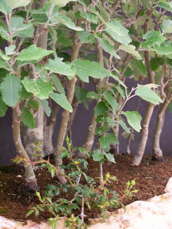 Bonsai Bosque de Alamos Blancos - Bosc de Xops - CBALICANTE
