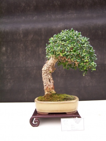 Bonsai Olivo - Olivera - Olea Europaea - CBALICANTE