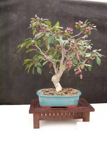 Bonsai Manzano - Pomera - Malus - CBALICANTE