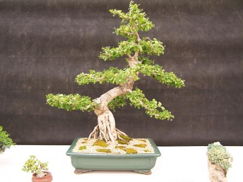 Bonsai Carmona Microphylla - CBALICANTE