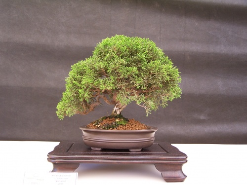 Bonsai Junipero Chino - Juniperus Chinensis - CBALICANTE