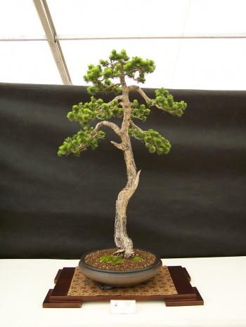 Bonsai Pino Silvestre - Pinus Sylvestris - CBALICANTE