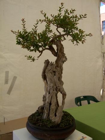 Bonsai 817 - CBALICANTE