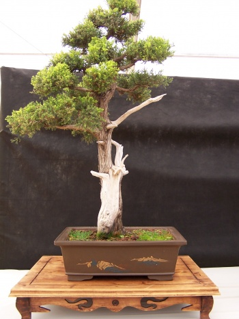 Bonsai Sabina Albar - Club Bonsai Espadan - CBALICANTE
