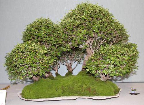Bonsai 873 - bonsaipaterna