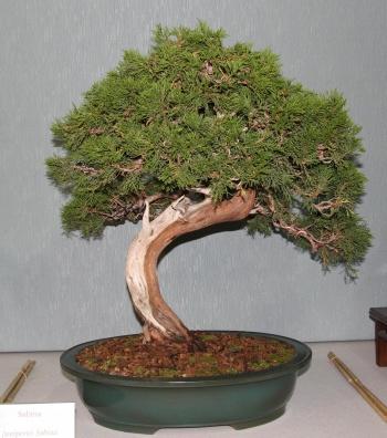 Bonsai 881 - bonsaipaterna