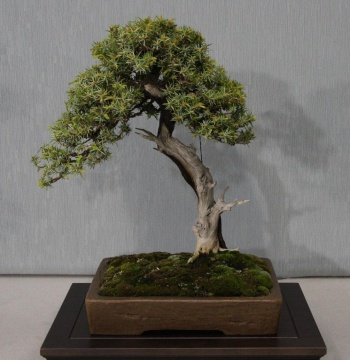 Bonsai 885 - bonsaipaterna