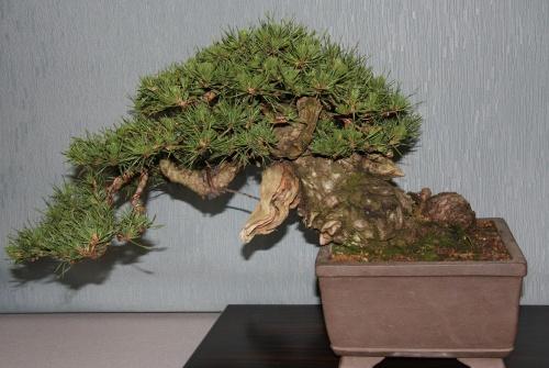 Bonsai 889 - bonsaipaterna