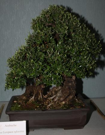 Bonsai 897 - bonsaipaterna