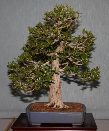 Bonsai 901 - bonsaipaterna