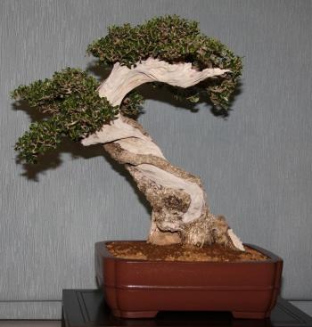 Bonsai 905 - bonsaipaterna