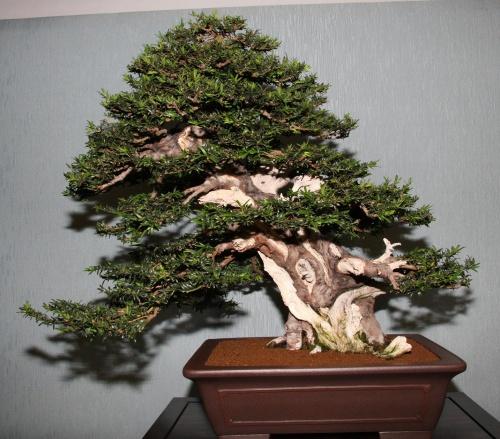 Bonsai GANADOR PREMIO PÚBLICO - bonsaipaterna