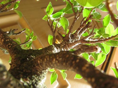 Bonsai Ficus Retusa - Enfoque lejos - miguelangel